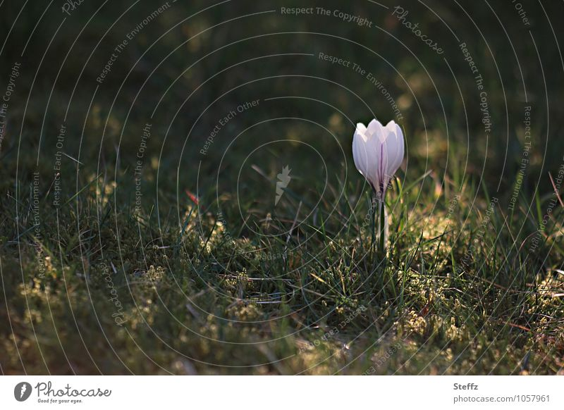 Nature Plant Beautiful Flower Spring Grass Violet Anticipation Spring fever Wild plant Crocus Shaft of light April March Spring flower Spring day