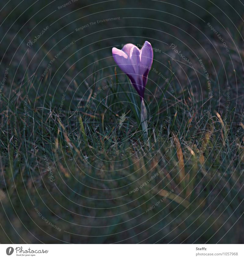 Nature Plant Green Flower Spring Beginning Blossoming Sign New Violet Spring fever Wild plant Crocus Spring flower Spring flowering plant Spring day