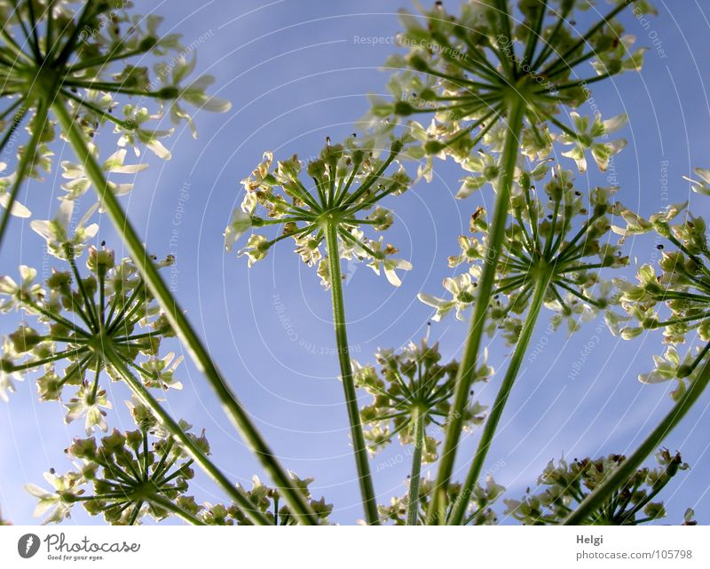 Sky Nature White Green Plant Flower Summer Clouds Meadow Landscape Blossom Together Growth Transience Thin Long
