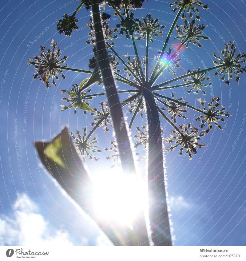 Sky Sun Flower Green Blue Plant Summer Clouds Lamp Meadow Blossom Lighting Power Tall Force Star (Symbol)