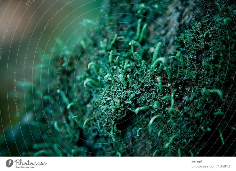 Moss Plant Green Background picture Encalypta Ground cover plant Spore Symbiosis Nature micro Lichen Macro (Extreme close-up) Botany Growth