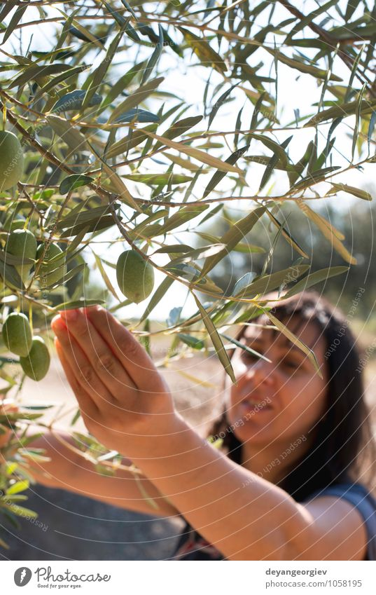 Picking olives.Woman holding olive branch. Fruit Garden Hand Nature Plant Tree Leaf Fresh Green Olive picking Harvest Agriculture Organic Palestinian ripe
