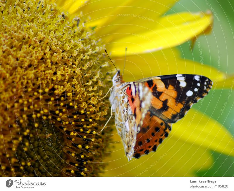 buttercup sunflower Sunflower Butterfly Judder Multicoloured Peacock butterfly Stamen Nutrition Feeler Yellow Brown Summer Nectar Wing To feed