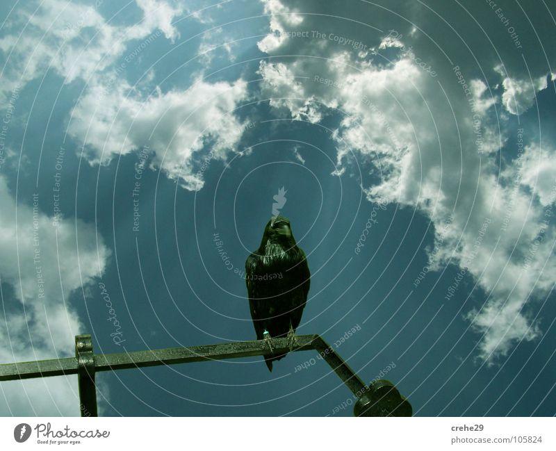 Nature Sky Sun Blue Summer Clouds Landscape Bird Vantage point Observe Raven birds Crow