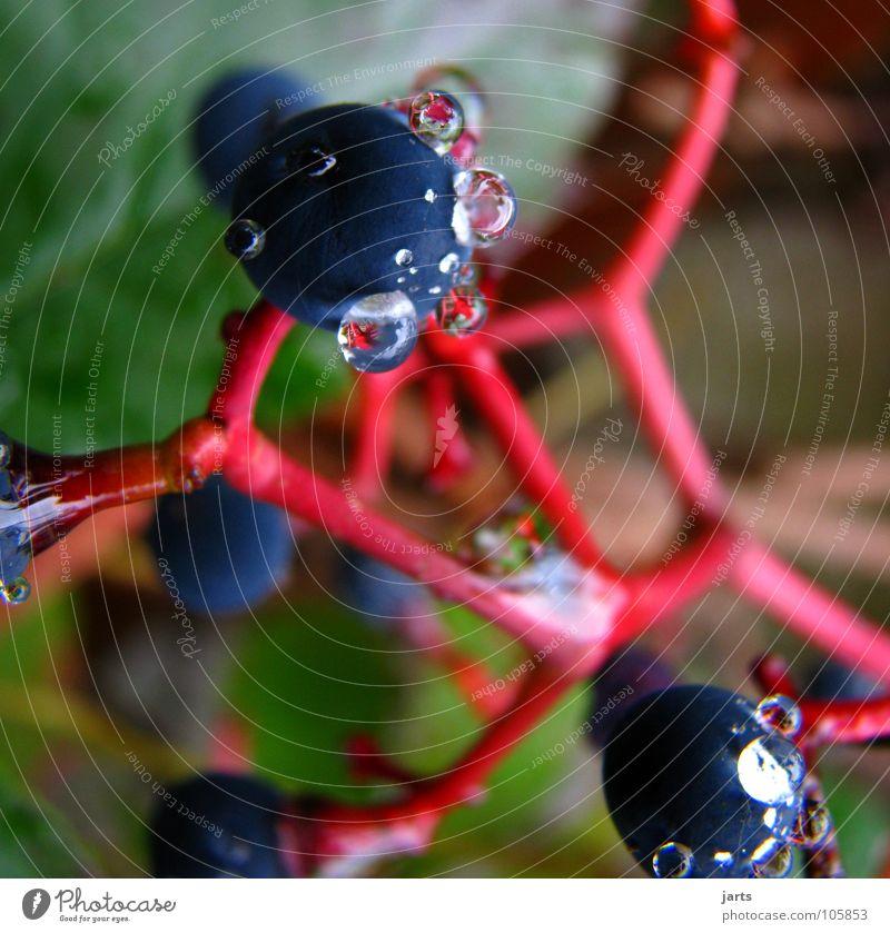 pearls Drops of water Red wine Bunch of grapes Fruit Water Vine jarts Garden
