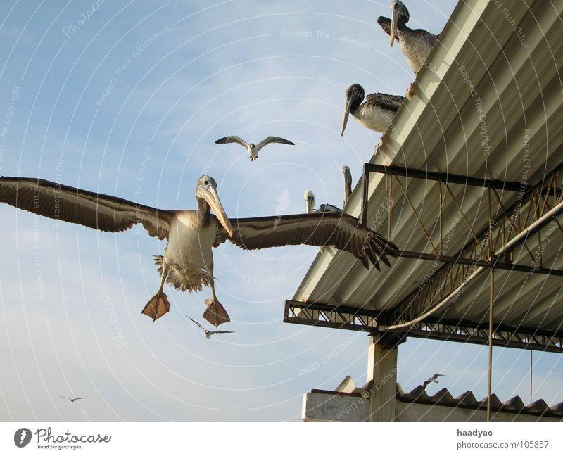 Sky Ocean Beach Vacation & Travel Bird Flying Fish Airplane landing Animal South America Peru Pelican