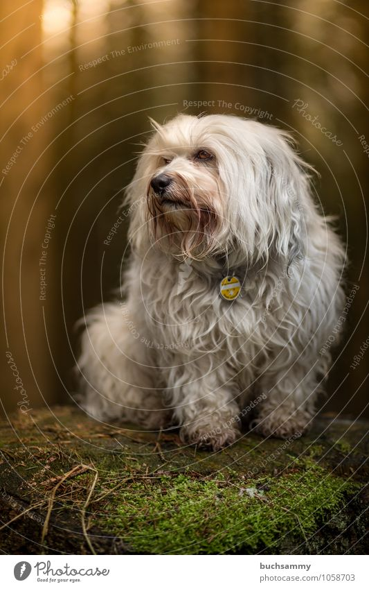 raised hide Animal Moss Forest Pelt Long-haired Pet Dog 1 Small White Pride bichon Watchdog Havanese Platform portrait Purebred dog Mammal Seat Colour photo