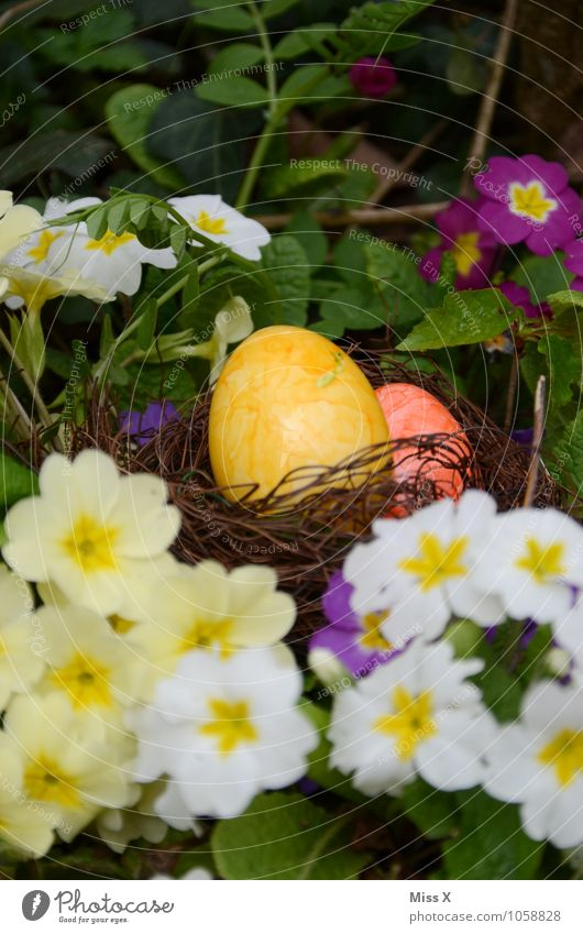 In the primroses Food Nutrition Feasts & Celebrations Easter Spring Flower Blossom Multicoloured Easter egg Easter egg nest Colour Nest Primrose Hide Search
