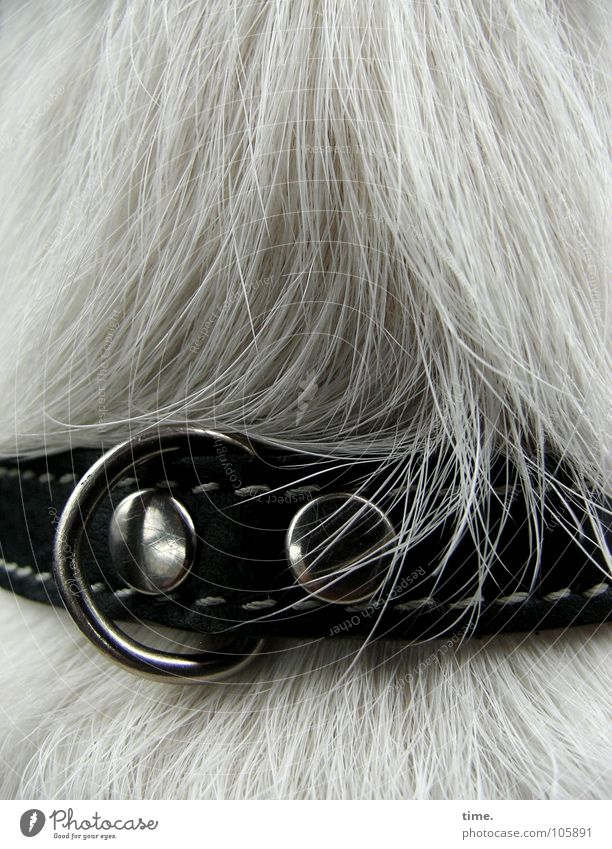 Beautiful White Gray Hair and hairstyles Dog Brown Metal Lie Luxury Leather Mammal Smoothness Stitching Strand of hair Neckband Dog collar