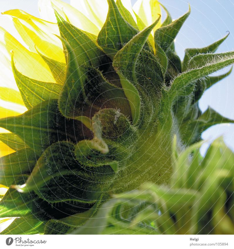 Rear view of a sunflower in backlight Flower Blossom Sunflower Leaf green Vessel Stalk Oval Yellow Green Bright yellow White Dark green Bright green