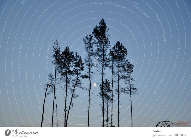 clearcut romanticism Agriculture Forestry Environment Nature Sky Cloudless sky Night sky Moon Tree Threat Cold Above Blue Gray Black Romance