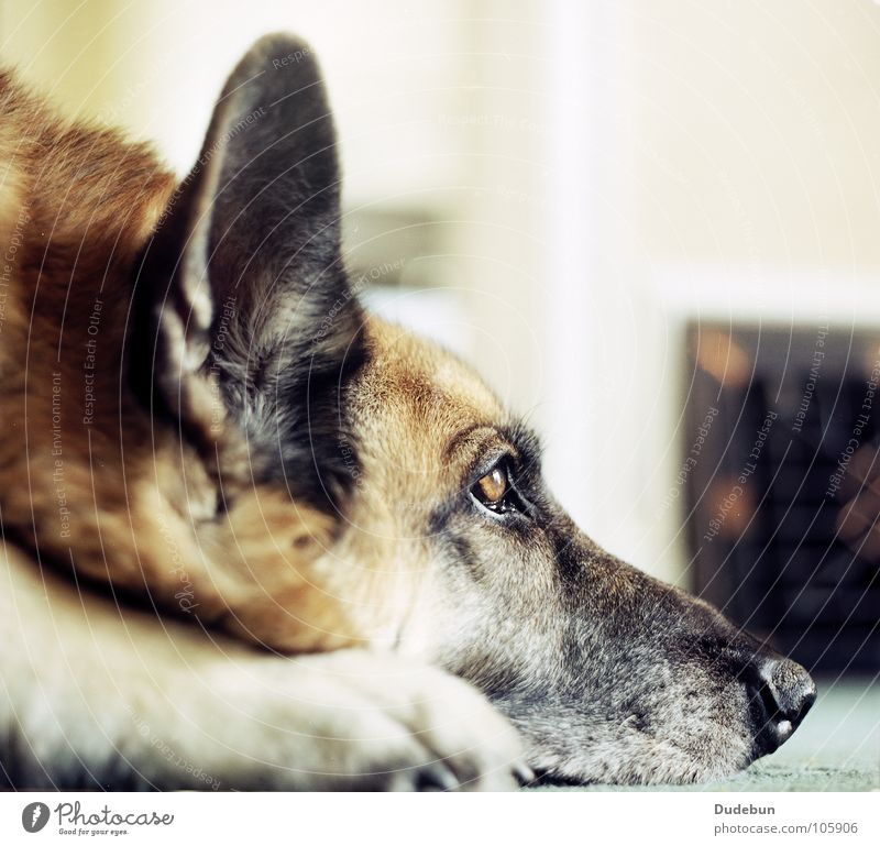 The Dog Calm Pet 1 Animal Looking Wait Loyal Love of animals Watchfulness Friendliness Analog Mammal German Shepherd Dog Colour photo Interior shot Close-up