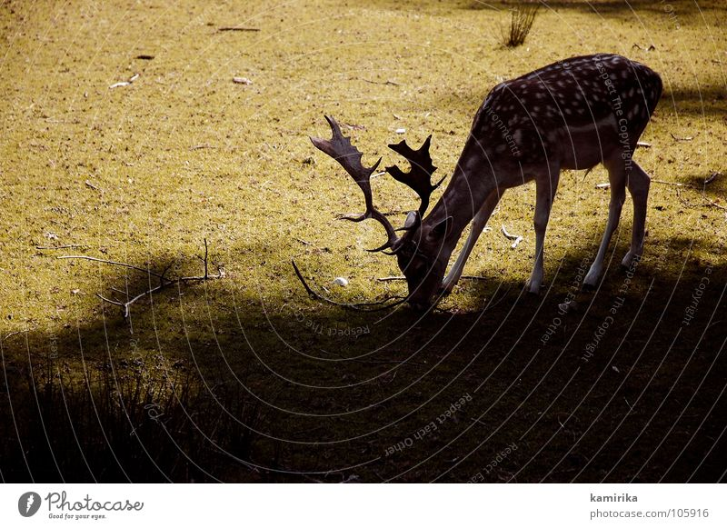 Sun Green Grass Wild animal Hunting Pasture To feed Mammal Antlers Hard Deer Roe deer Photo shoot Livestock