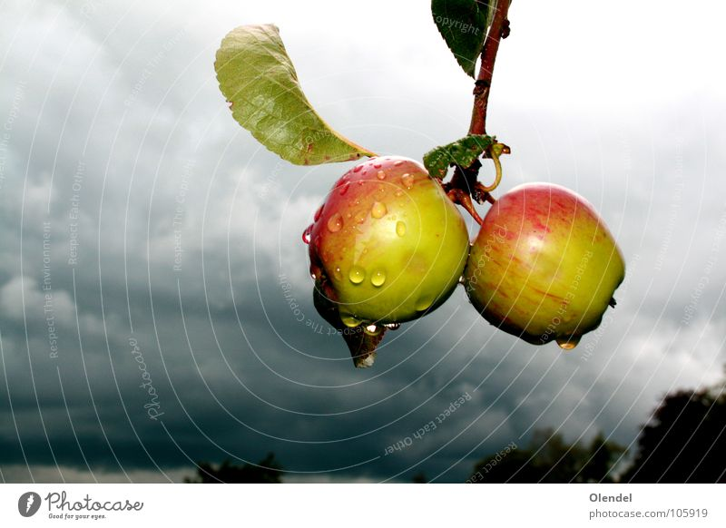 rain apples Red Green Gray Dark Grief Doomed Clouds Tree Leaf Fresh Life Fruity Apple Rain Sadness Drops of water Refreshment