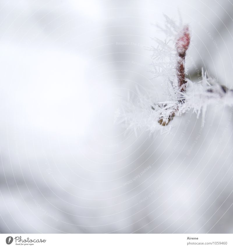 frost I Winter Ice Frost Snow Plant Tree Twig Leaf bud rock pear Crystal structure Ice crystal Freeze Cold Point Thorny Red White Climate Nature Motionless