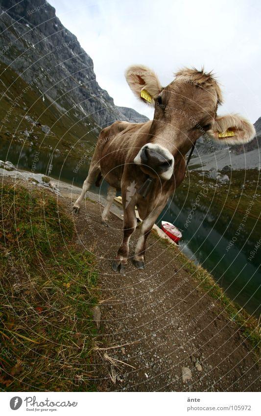 Mountain Watercraft Switzerland Alps Cow Interest Cliche Animal Cattle Mountain lake Canton Graubünden
