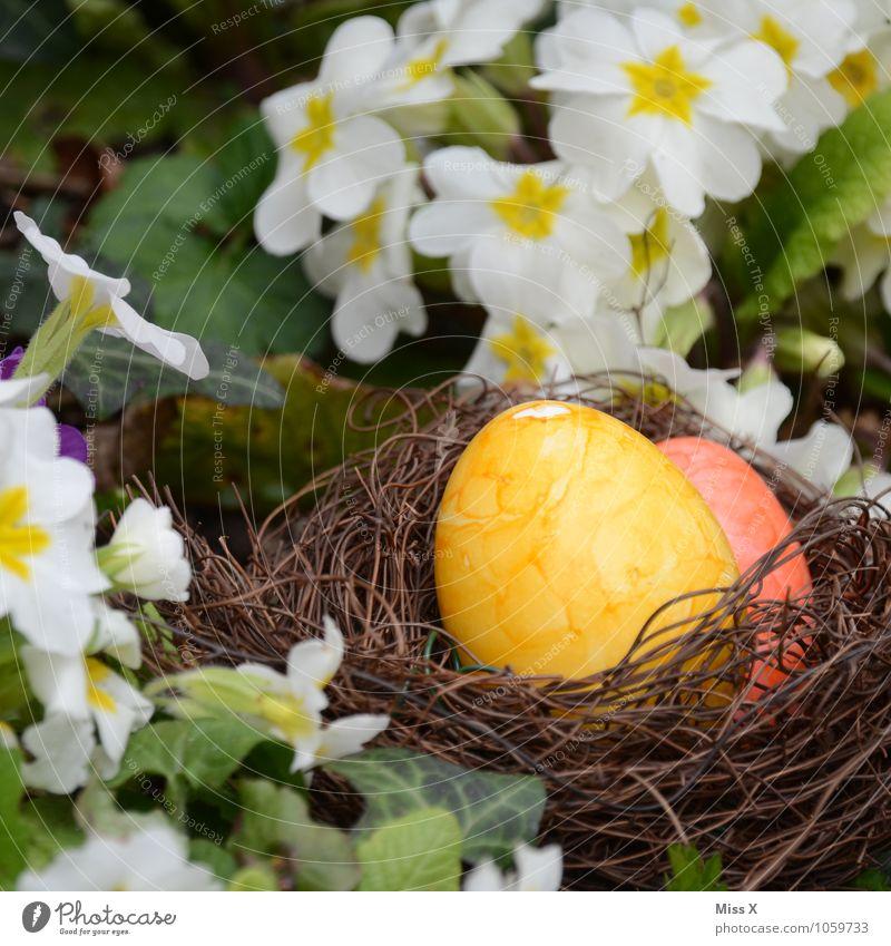 Colour Flower Blossom Spring Garden Food Nutrition Easter Hide Egg Nest Easter egg Easter egg nest Hen's egg Primrose