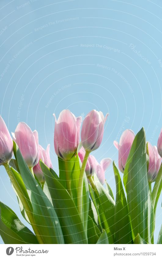 tulip Sky Cloudless sky Spring Beautiful weather Flower Tulip Blossom Garden Blossoming Growth Pink Moody Spring fever Tulip blossom Tulip field Spring flower