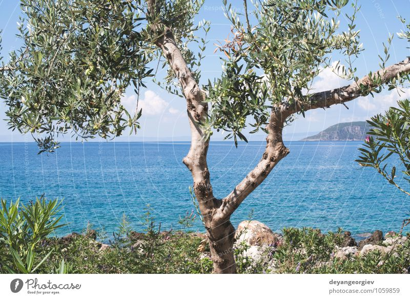 Olive tree on the beach. Blue sky. Sky Nature Vacation & Travel Blue Plant Green Summer Sun Tree Relaxation Ocean Landscape Clouds Beach Coast Idyll