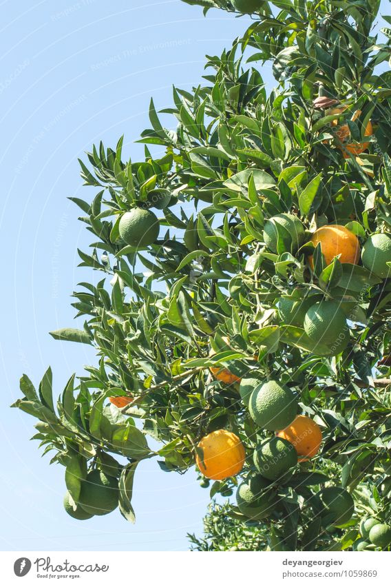 Oranges on a branch. Orange trees in plantation. Nature Plant Green Tree Leaf Environment Natural Garden Fruit Growth Fresh Delicious Farm Harvest Vitamin