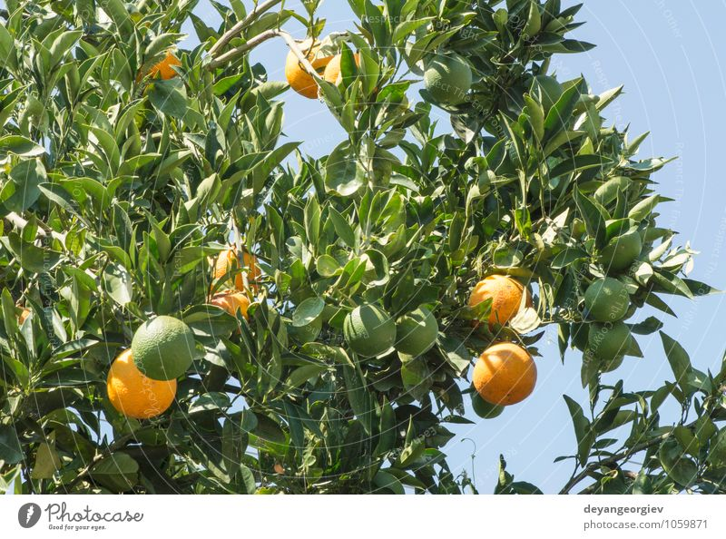 Oranges on a branch. Orange trees in plantation. Fruit Juice Garden Environment Nature Plant Tree Leaf Growth Fresh Delicious Natural Juicy Green citrus ripe