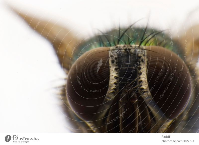 Glubschauge Near Macro (Extreme close-up) Compound eye Diminutive Might Fly Retroring Insect Animal Complex Goggle eyes Small Large Close-up D50 Detail