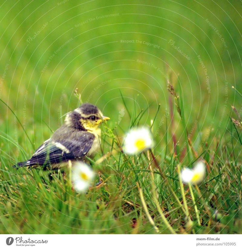 fledged? Bird Chick Daisy Sweet Cute Nest Tit mouse Finch Gray Beak Claw Straw Spring baby bird Egg Garden Nature Feather Young bird Baby animal