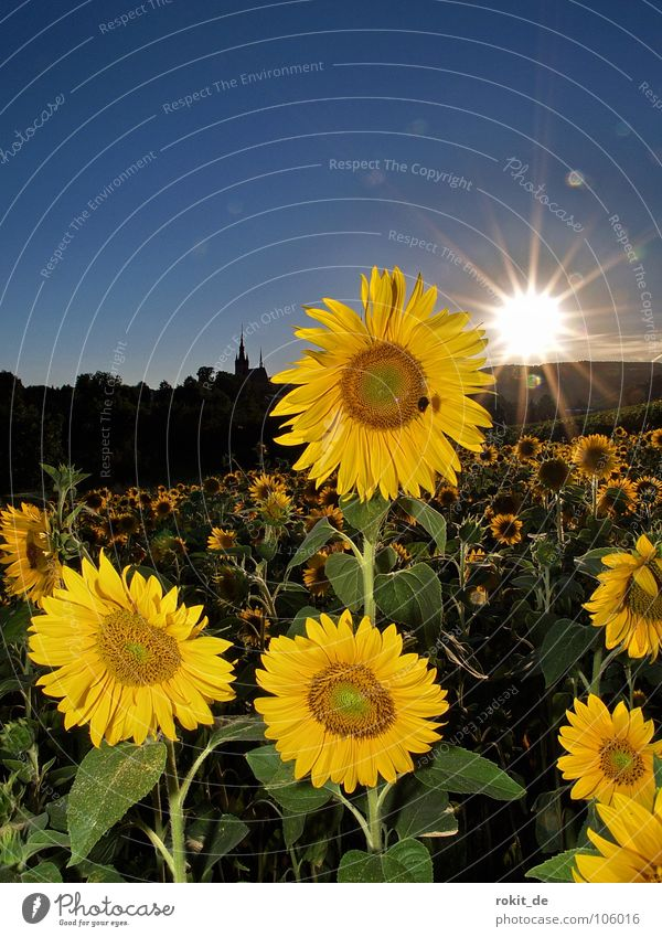 Blue Green Summer Sun Flower Joy Yellow Lighting Horizon Field Stand Stalk Bee Sunflower Brilliant Darmstadt