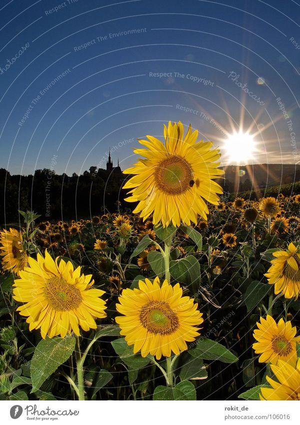 Have sun in my heart Sunflower Yellow Back-light Horizon Kiedrich Rheingau Flower field Summer Light Field Brilliant Bee Green Stalk Evening Sunset