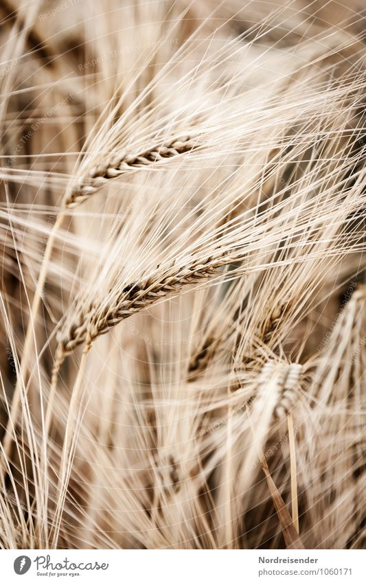 barley Grain Nutrition Agriculture Forestry Nature Plant Summer Agricultural crop Field Growth Natural Brown Life Luxury Harvest Barley Barleyfield Barley ear