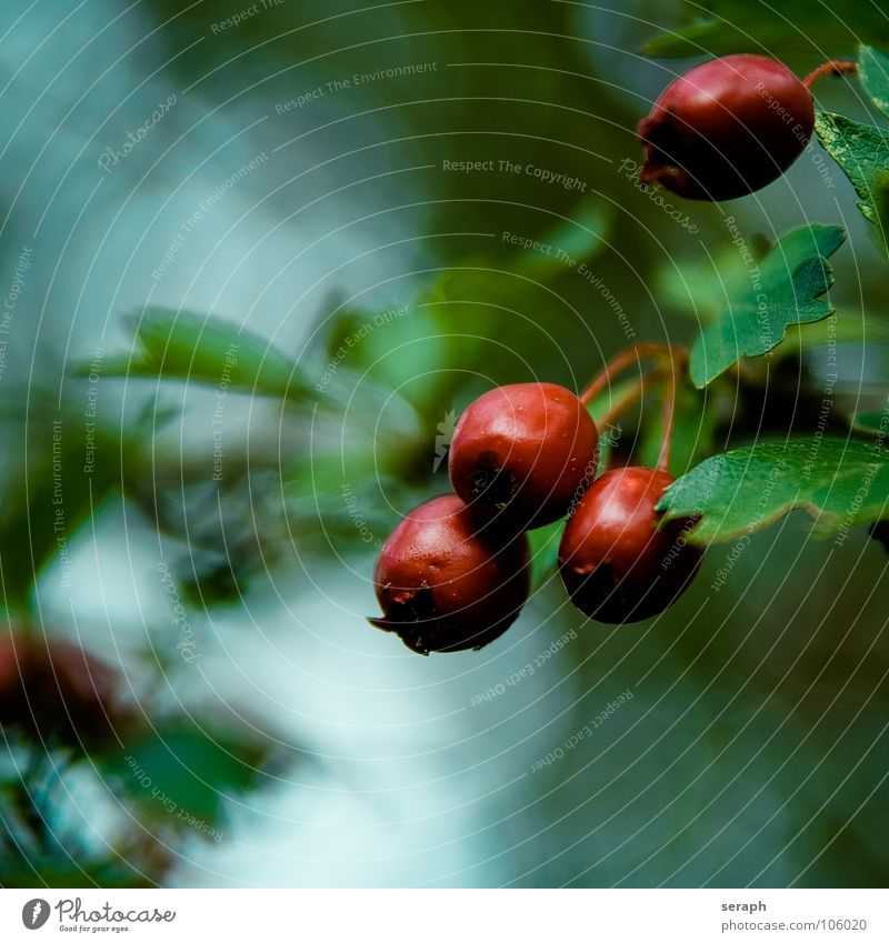 Nature Green Plant Tree Red Autumn Blossom Garden Background picture Fruit Bushes Mature Berries Autumnal Botany