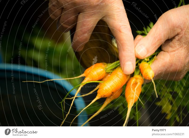 Non EU standard Vegetable Carrot Leisure and hobbies Garden plot Hand Fingers To hold on Fresh Healthy Small Delicious Orange Indicate Interpret Harvest
