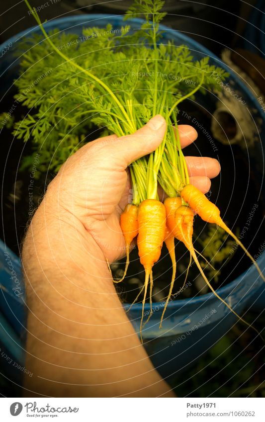 fresh carrots Food Vegetable Carrot Nutrition Leisure and hobbies Garden plot Arm Hand To hold on Fresh Healthy Small Delicious Natural Green Orange To enjoy