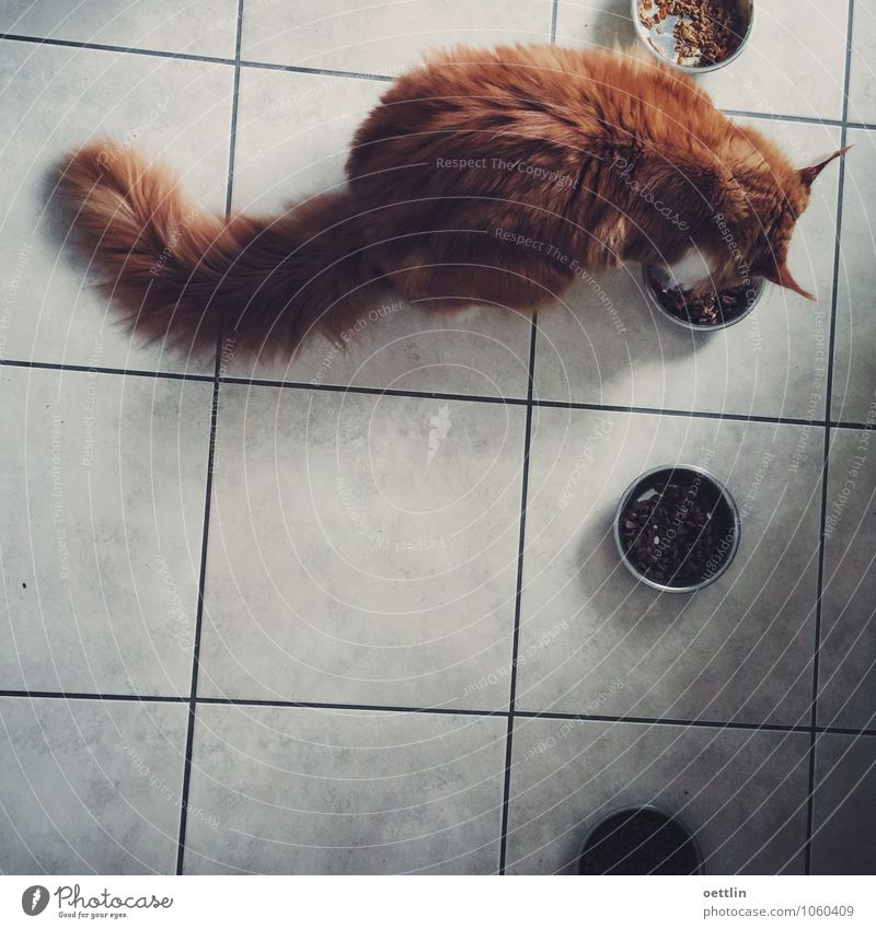 Firefox hungry! Food Cat food Eating Bowl Kitchen Red-haired Long-haired Animal Pet Pelt Maine Coon 1 To feed Feeding Fat Dark Healthy Large Cuddly Delicious
