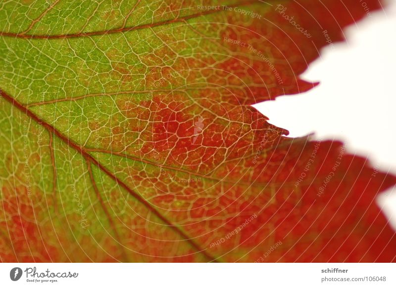 Autumn foliage, the second II Leaf Red Green Multicoloured Indian Summer Together Row Autumnal in old age Macro (Extreme close-up)