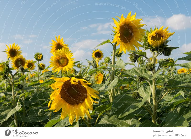 sunflowers Summer Agriculture Forestry Clouds Flower Sunflower Field Yellow extension Sky Mature Sunflower field Sunflower seed Exterior shot Day