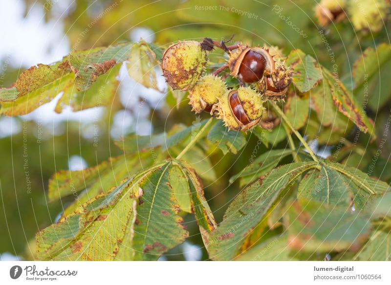chestnut Nature Plant Autumn Tree Leaf Chestnut Chestnut tree Bright Brown Green Colour photo Exterior shot Day