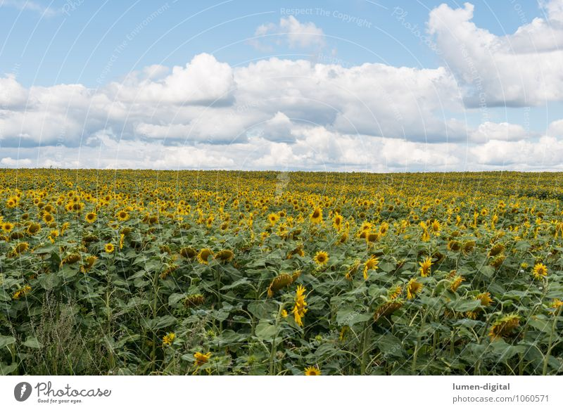 Sunflower field under summer sky Agriculture Forestry Clouds Field Sustainability Yellow Mature Sunflower seed Exterior shot Day Panorama (View)