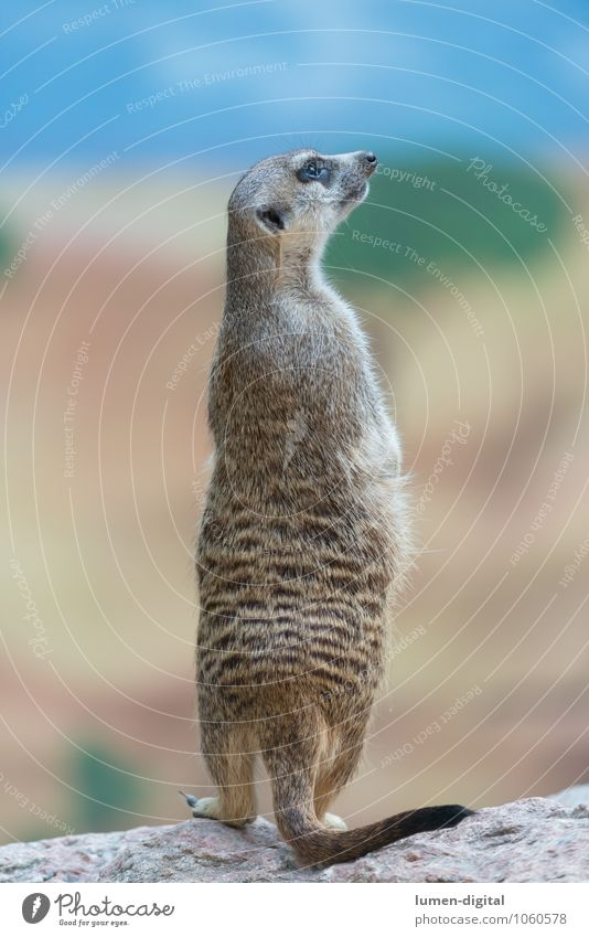 Meerkat is on the lookout Weather Rock Pelt Wild animal 1 Animal Observe Stand Funny Watchfulness Vertical Posture Rodent Tails Scent Colour photo