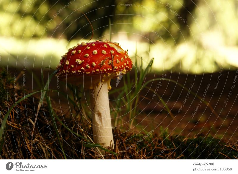 Mmmmm Forest Amanita mushroom Meadow Red To go for a walk Hiking Autumn Mushroom Poison poisonous mushroom Plant forest mushrooms Wild animal Nature Landscape