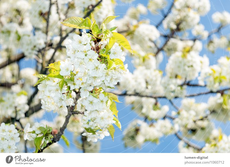 Cherry blossoms in spring Cloudless sky Spring Tree Leaf Blossom Park Blossoming Growth Bright White Fragrance Nature Sunlit Twig Bud Exterior shot Day Sunlight