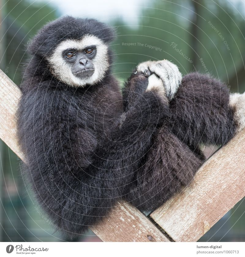Gibbon sits on wooden scaffold Face Animal Pelt Wild animal 1 Observe Sit Black White Comfortable Monkeys Apes Square Mammal Portrait photograph Colour photo