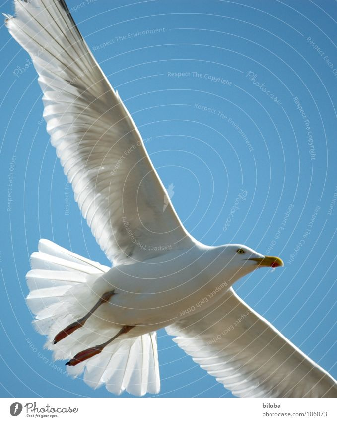 Sky Blue White Beautiful Animal Black Freedom Bird Flying Elegant Tall Infinity Deep Seagull Pride