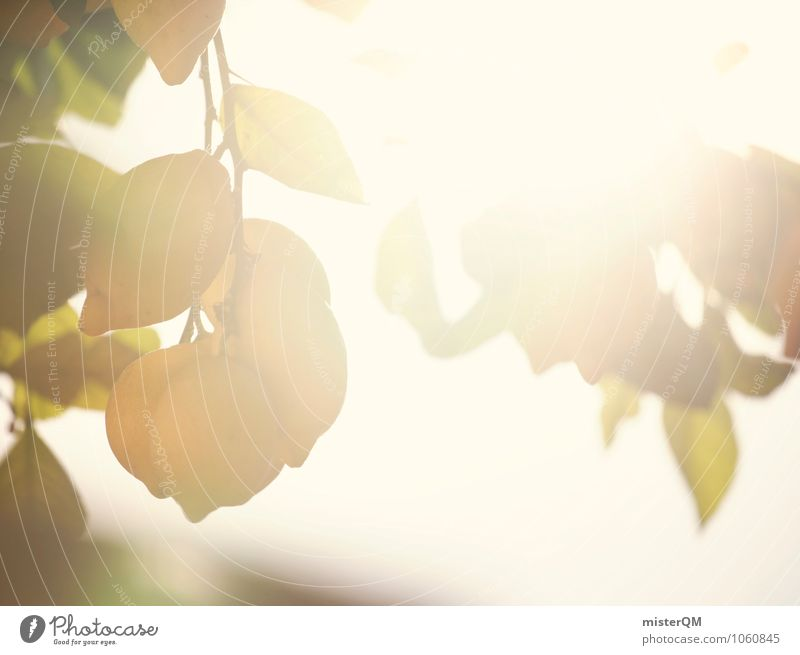 Sun-ripened. Nature Plant Contentment Mature Sunlight Solar Power Lemon Lemon juice Lemon yellow Vitamin-rich Vitamin C Majorca Spain Growth Summer Extend