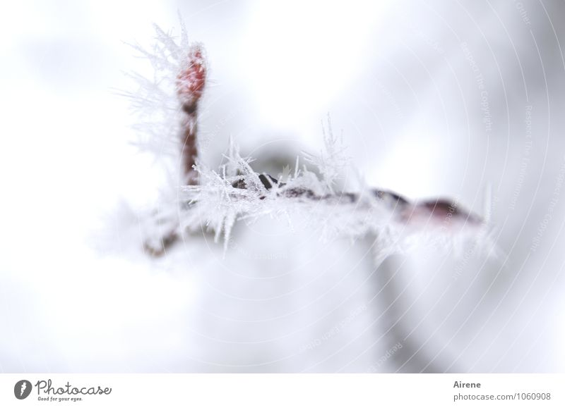 frost III Elements Winter Ice Frost Snow Plant Tree Twig rock pear Leaf bud Crystal Freeze Esthetic Cold Point Thorny Red White Climate Motionless Frozen