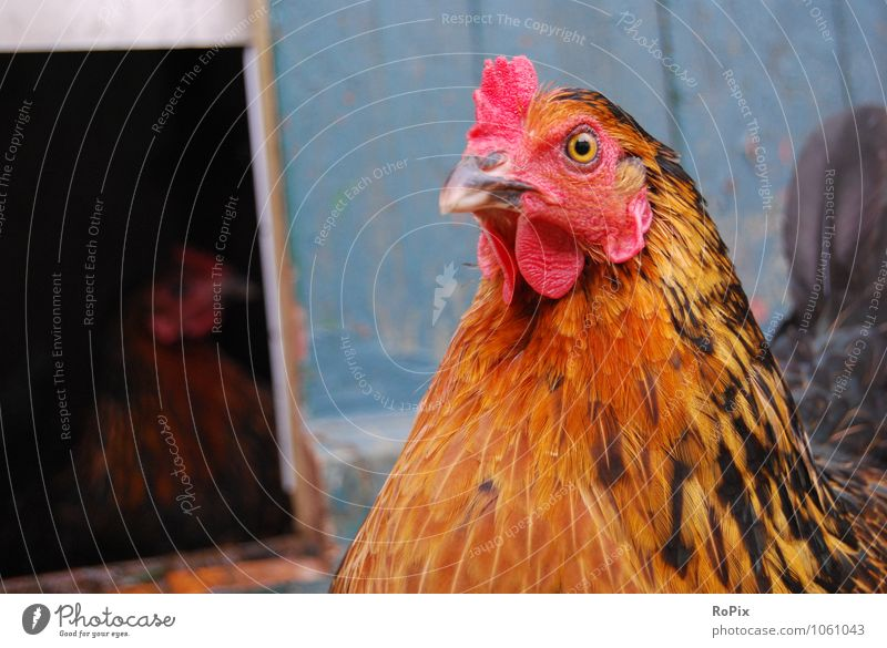 hühnerhof Food Meat Egg soup chicken Hen's egg Agriculture Forestry Trade Animal Pet Farm animal Animal face hen Laying hen Poultry Beak Living thing