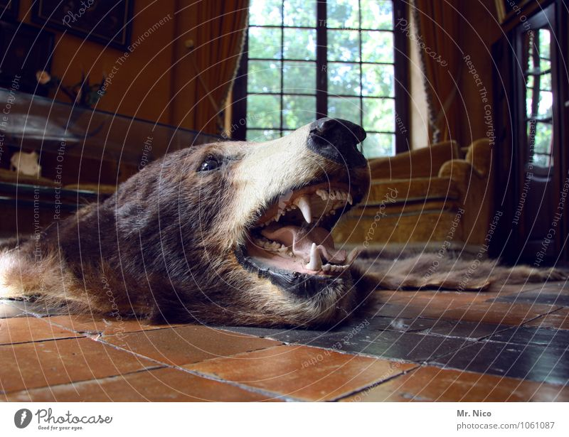 BEAR Leisure and hobbies Hunting Living or residing Flat (apartment) Arrange Interior design Decoration Furniture Wild animal Dead animal Animal face Pelt