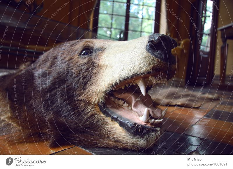 BEAR Leisure and hobbies Hunting Living or residing Flat (apartment) Arrange Interior design Decoration Furniture Room Living room Wild animal Dead animal Pelt