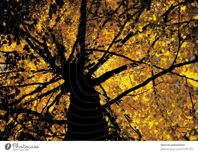 the other day under the tree Tree Autumn Beech tree Yellow Leaf Moody Light Tree trunk Branched Sunlight Brown Black Hiking autumn tree Contrast Perspective