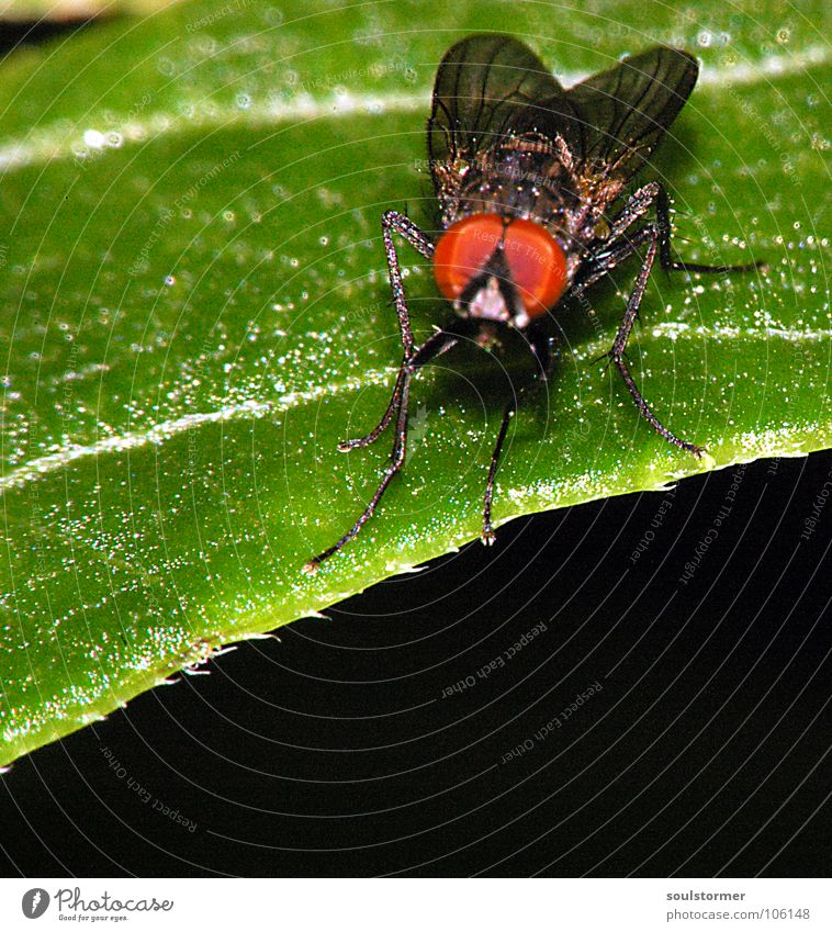 red eye effect... Insect Animal Leaf Flower Legs Compound eye Square Dark Relaxation Macro (Extreme close-up) Close-up Fly Wing Leaf green Wood grain Sit Eyes